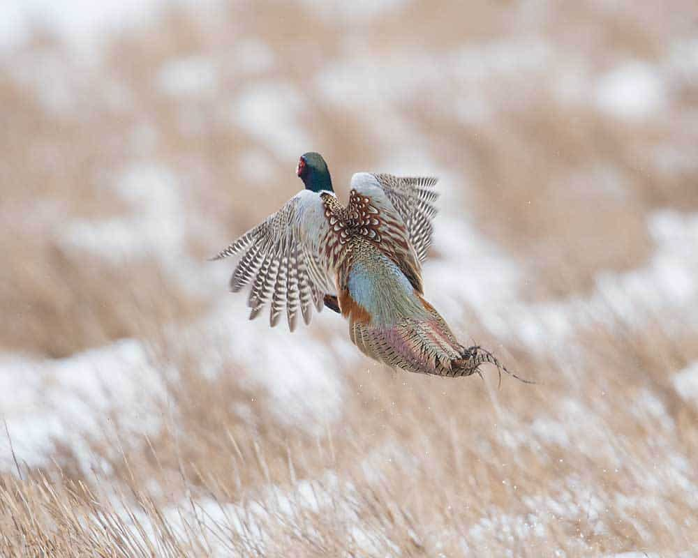 south dakota pheasant hunting guides